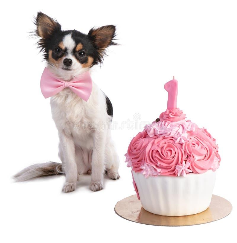 Chihuahua delante de ella una torta de cumpleaños rosada fotos de archivo