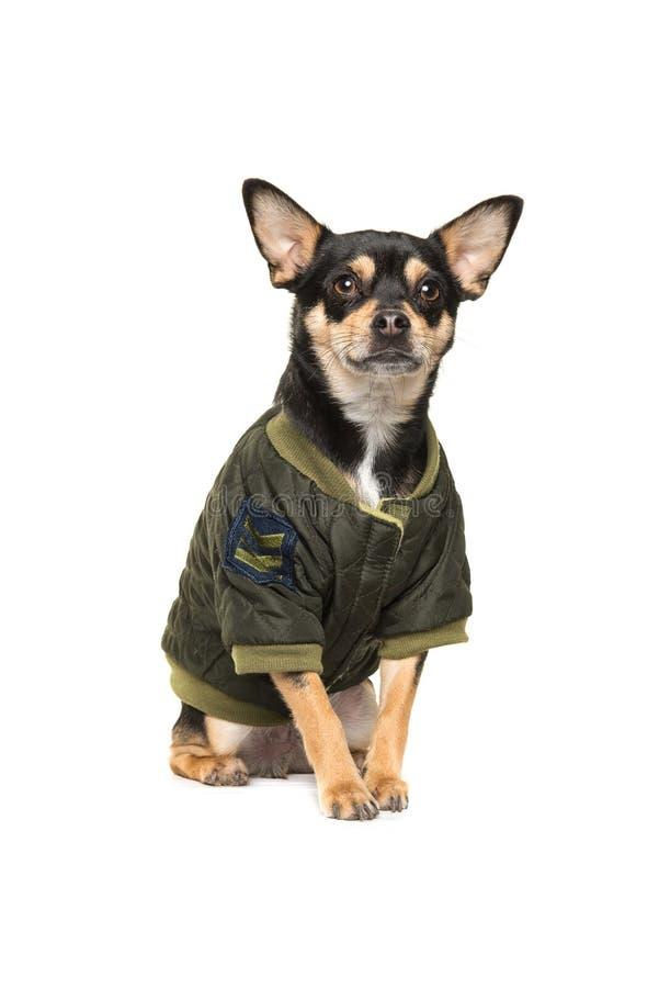 Chihuahua di seduta sveglia che porta un cappotto fresco di inverno dell'esercito immagini stock