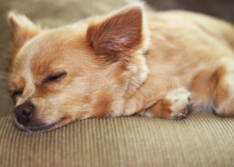 Chihuahua di sonno fotografie stock