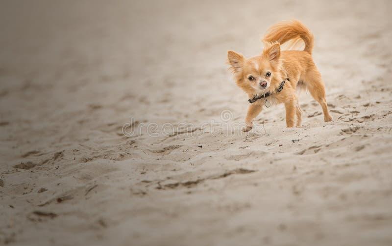 Chihuahua die bij het strand lopen royalty-vrije stock afbeeldingen