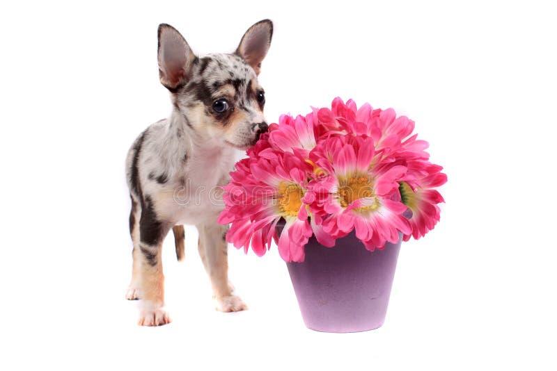 Chihuahua die de bloemen ruikt royalty-vrije stock afbeelding