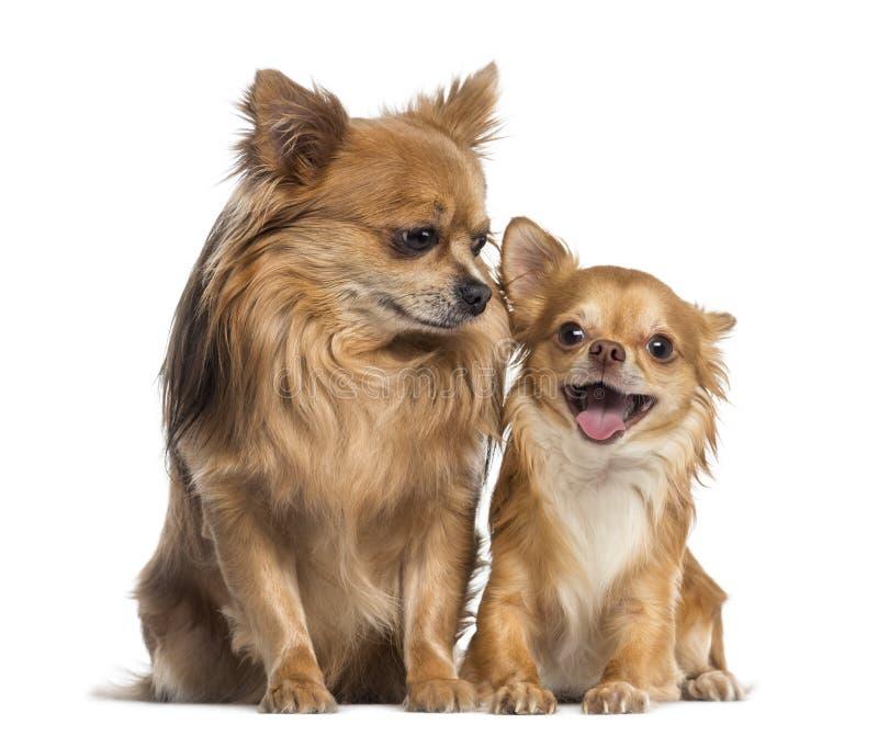 Chihuahua die en aan een gelukkige chihuahua zitten kijken royalty-vrije stock afbeelding