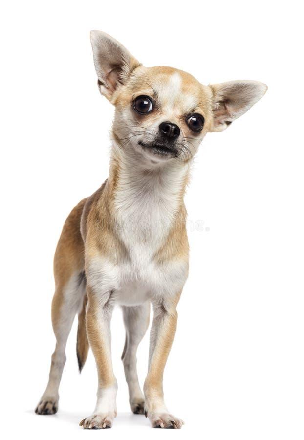 Chihuahua die en zich camera tegen witte backgroun bevinden bekijken stock foto