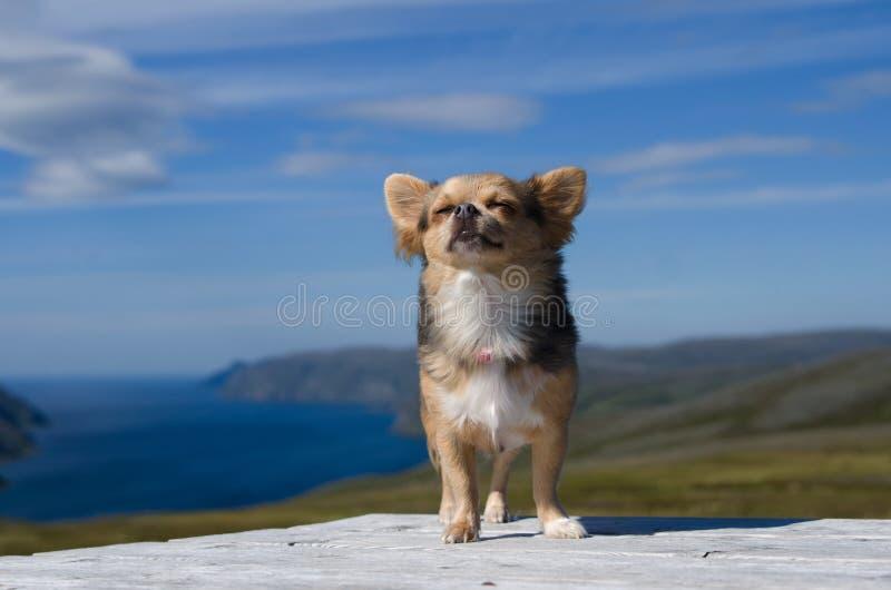 Chihuahua die verse lucht ademen tegen Skandinavisch landschap royalty-vrije stock foto