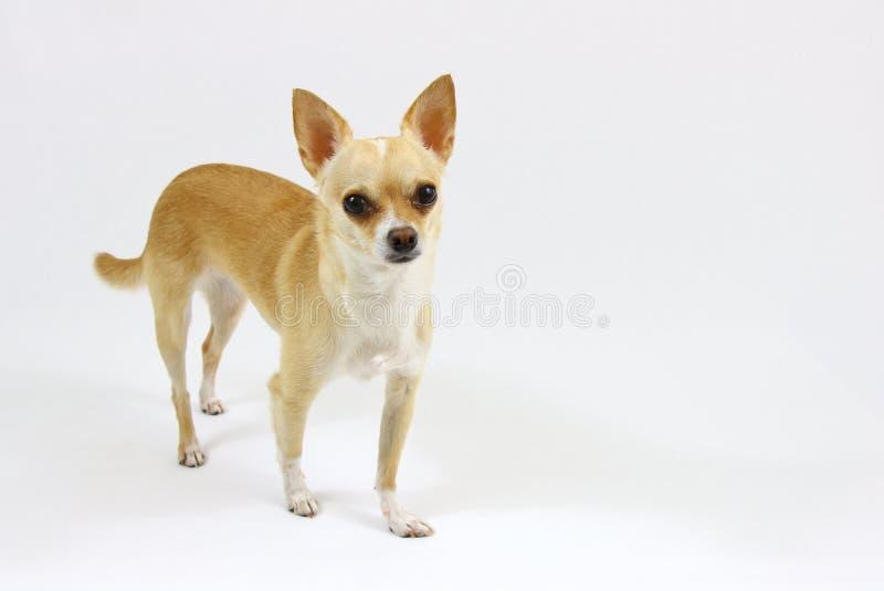 Chihuahua die zich op witte achtergrond bevinden royalty-vrije stock fotografie
