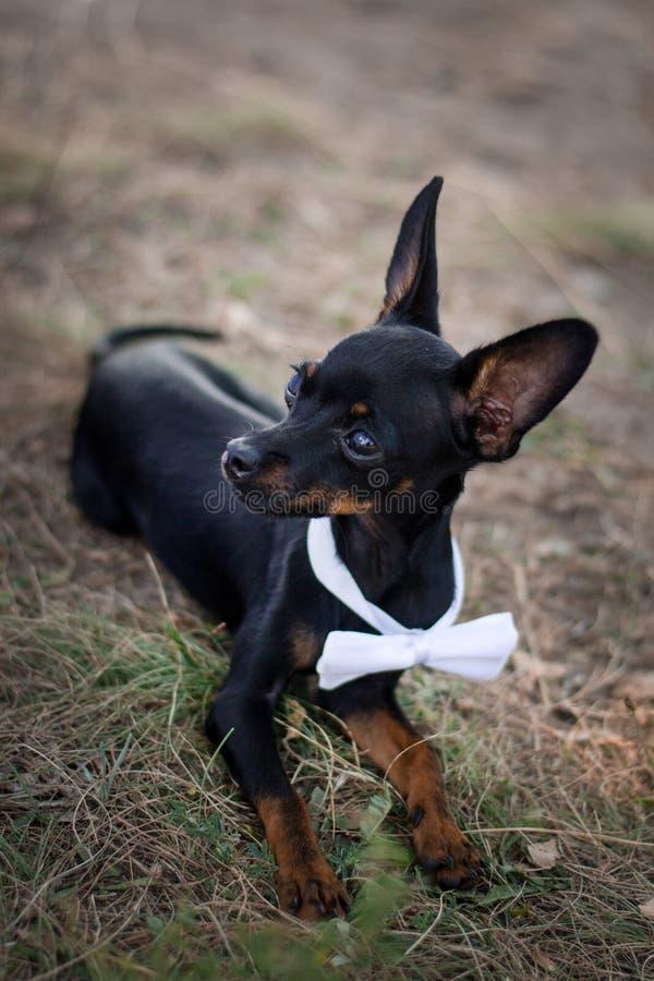 Chihuahua do cão em um terno em um casamento Conceito para convidados do casamento fotos de stock royalty free