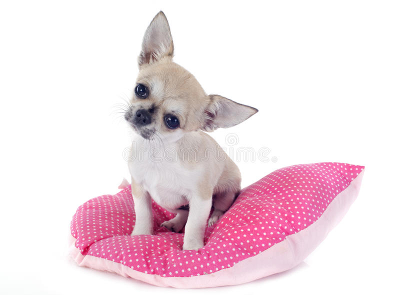 Chihuahua do cachorrinho fotos de stock royalty free