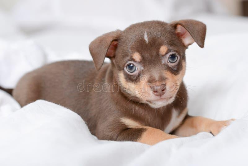Chihuahua do cachorrinho de Brown imagem de stock royalty free