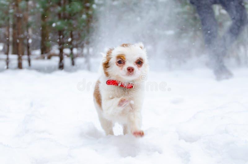Chihuahua do cachorrinho em uma caminhada do inverno no parque fotografia de stock royalty free