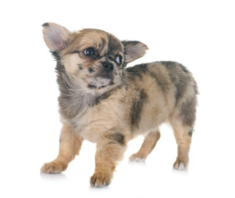 Chihuahua do cachorrinho no estúdio foto de stock