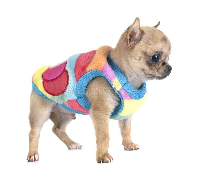Chihuahua do cachorrinho no estúdio imagens de stock
