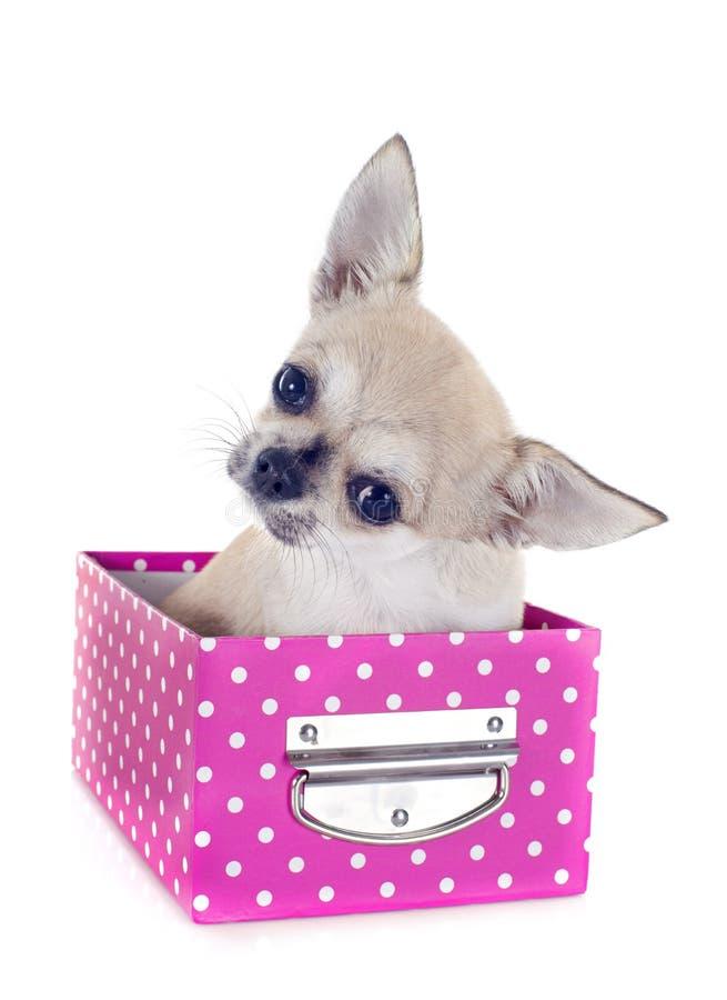 Chihuahua do cachorrinho no ofício imagem de stock