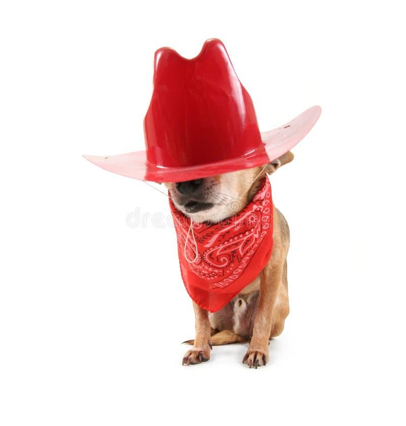 Chihuahua do cowboy fotografia de stock