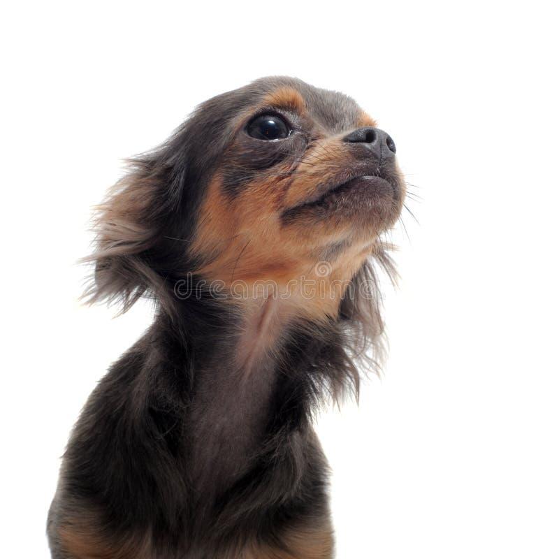 Chihuahua do filhote de cachorro imagem de stock