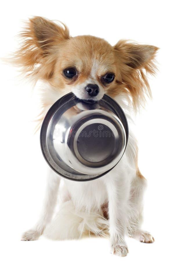 Chihuahua do filhote de cachorro e bacia do alimento imagem de stock royalty free
