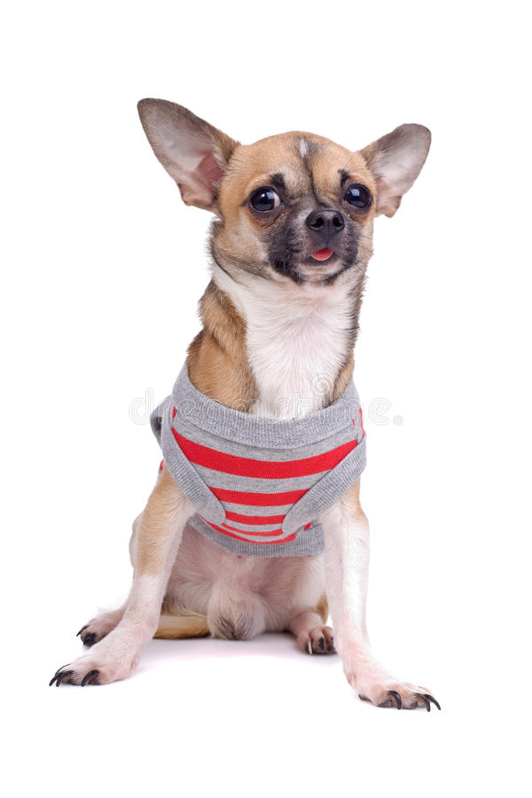 Download Chihuahua dog stock photo. Image of down, clothing, portrait - 12575286