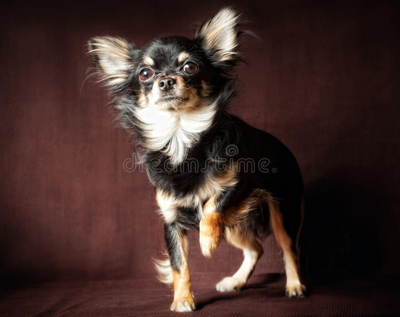 Download Chihuahua dog stock photo. Image of sitting, background - 18376718