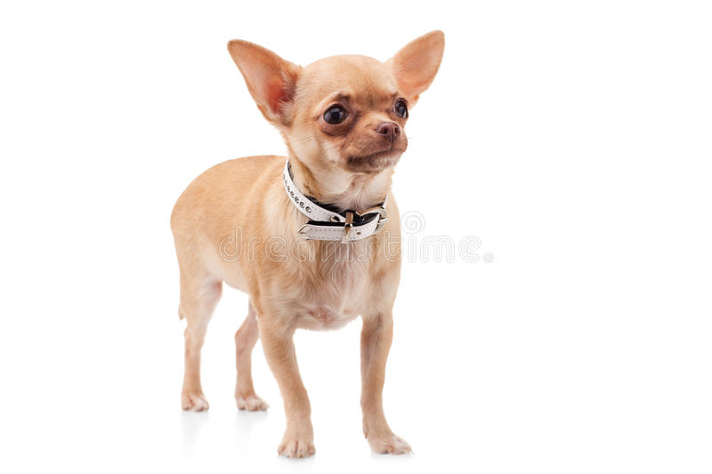 Chihuahua dog. Cute Chihuahua dog, isolated on white background stock images