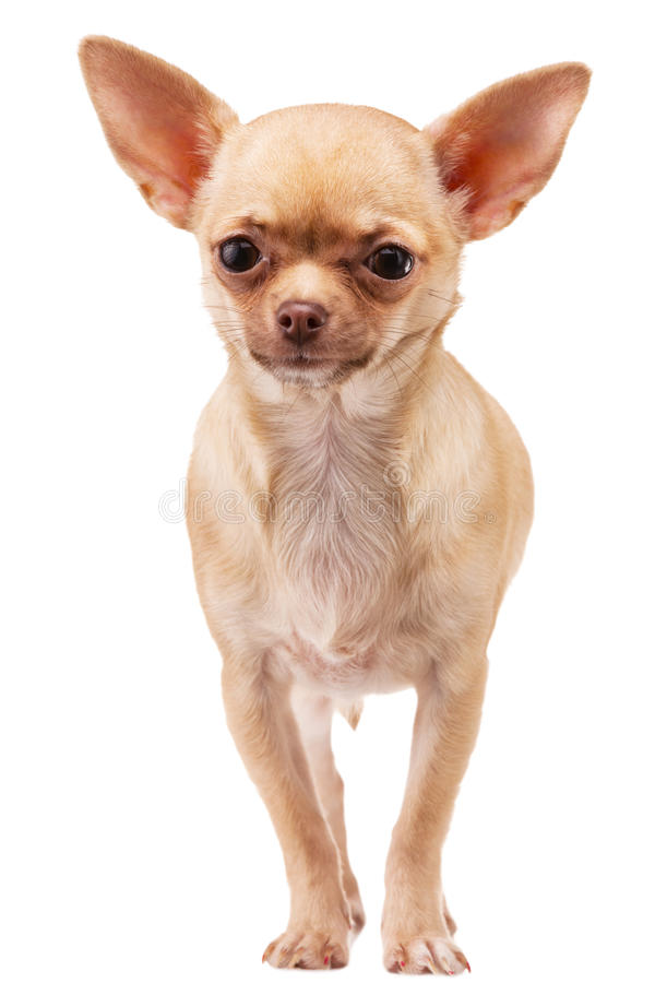 Chihuahua dog. Cute Chihuahua dog, isolated on white background royalty free stock photo