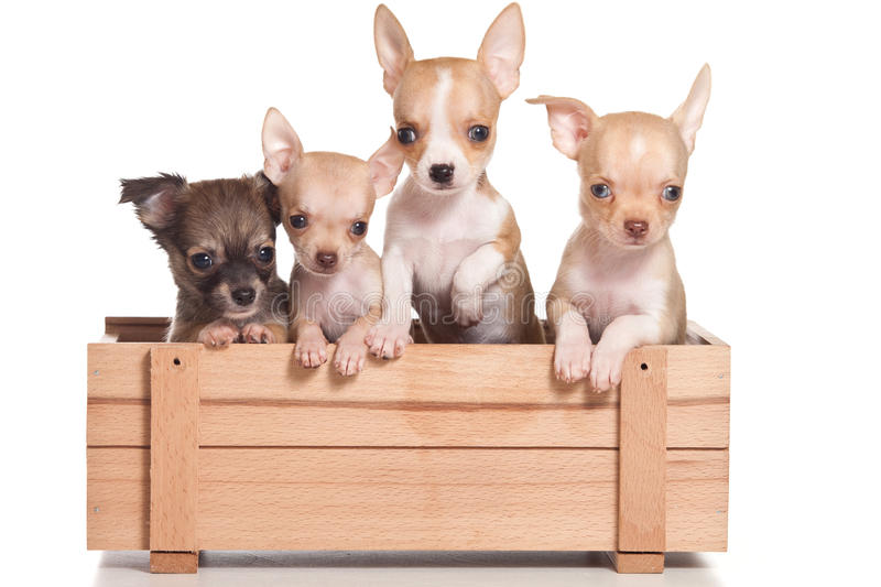 Download Chihuahua dog stock image. Image of breed, carnivore - 20085995