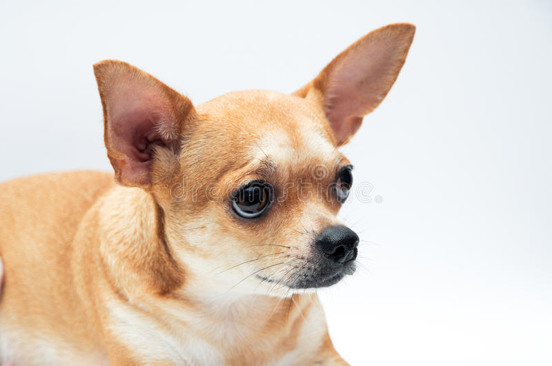 Download Chihuahua dog stock photo. Image of obedient, pedigreed - 21207982