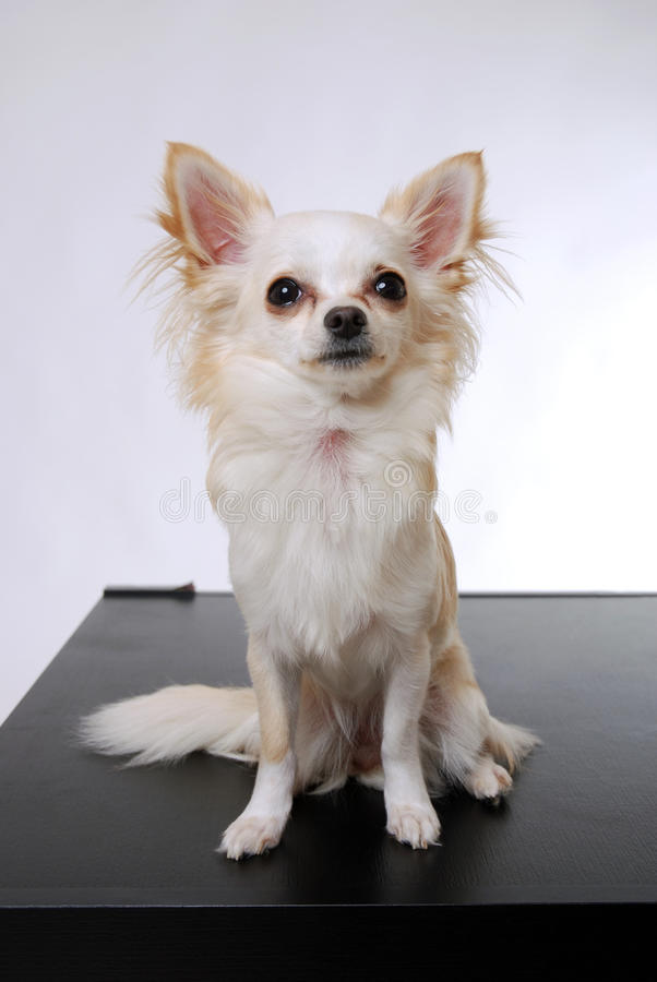 Download Chihuahua dog stock image. Image of pure, light, mammal - 24205023