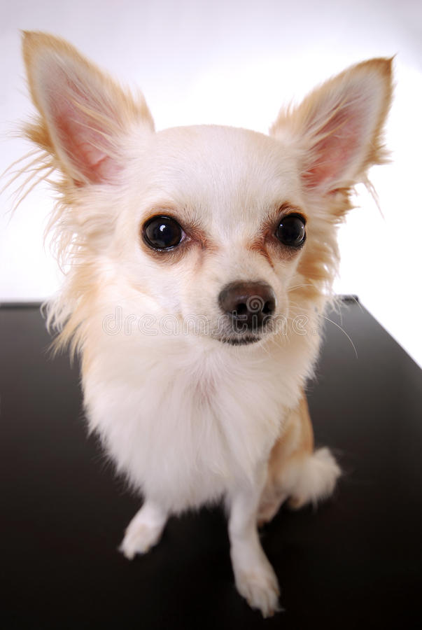 Download Chihuahua Dog Stock Images - Image: 24205024