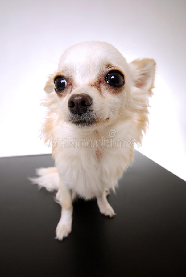 Download Chihuahua dog stock photo. Image of vertical, space, brown - 24205030