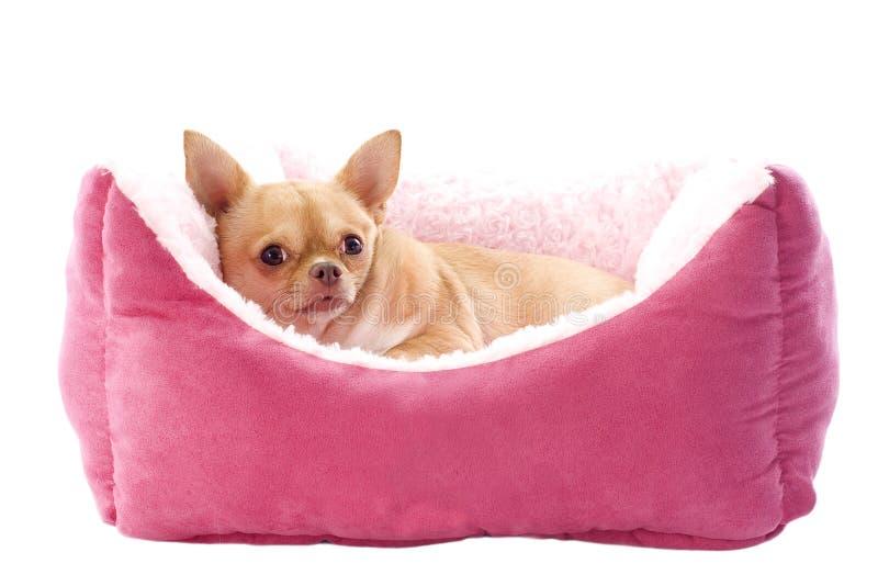 Chihuahua and dog bed