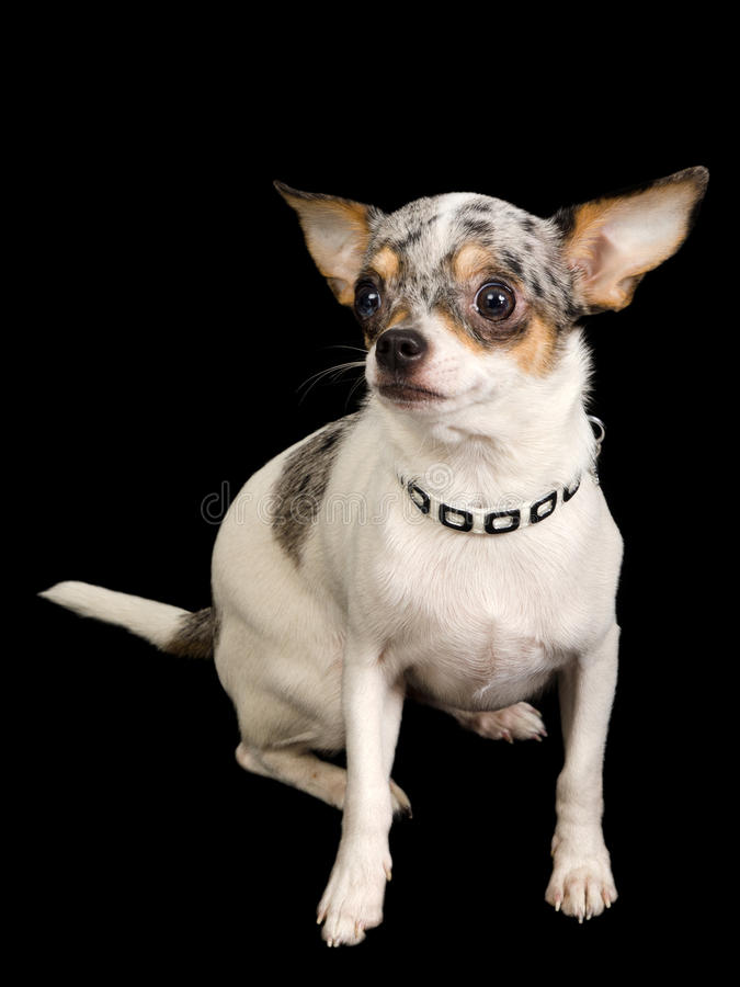 Chihuahua dog on black royalty free stock photography