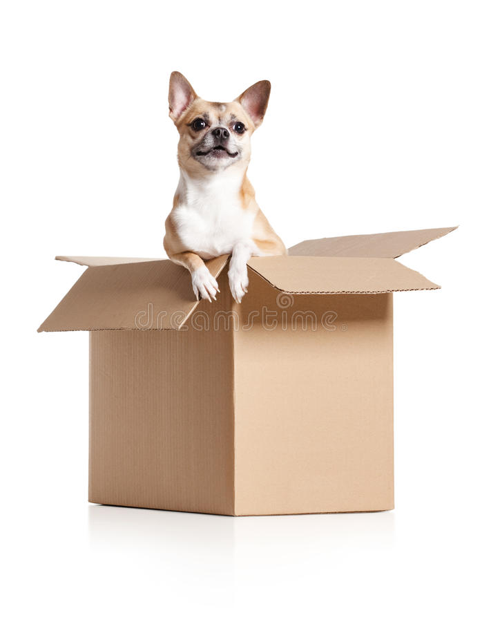 Chihuahua dog is in box. Chihuahua dog looks out of cardboard box, isolated on white royalty free stock photo