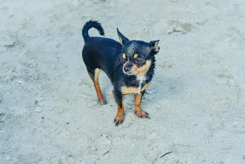 Chihuahua dog breed. portrait of a cute purebred puppy chihuahua in the river stock photo