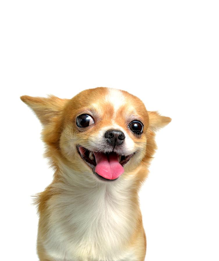Chihuahua dog, a brown male. Smiling on a white background stock photos