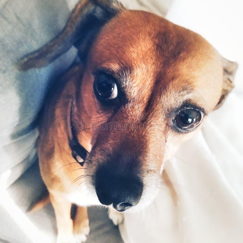Chihuahua dog royalty free stock photos