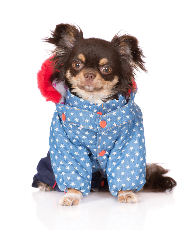Chihuahua dog in clothes. Brown chihuahua dog wearing clothes stock image