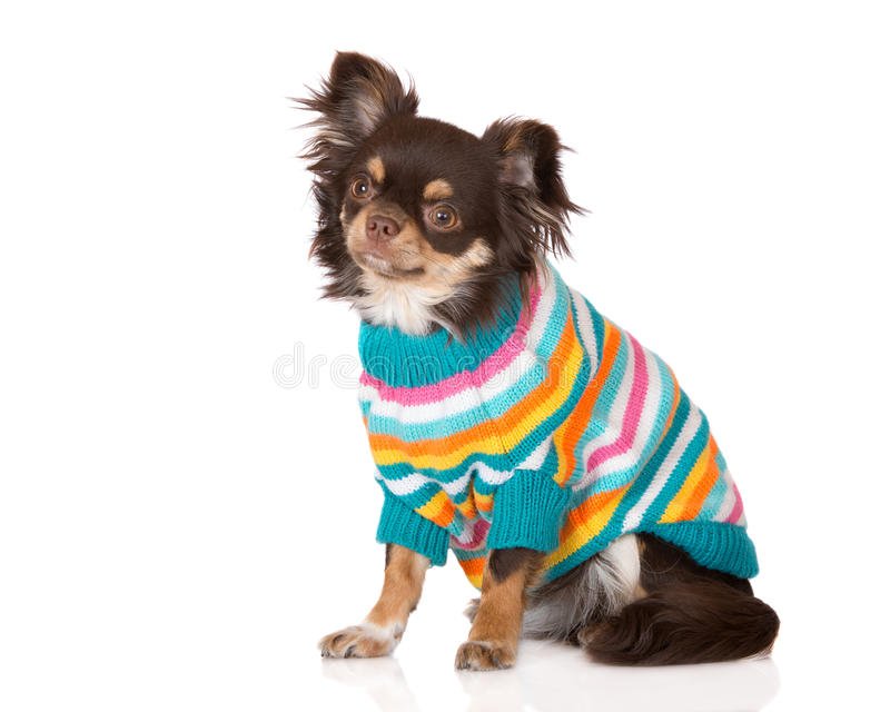 Chihuahua dog in clothes. Brown chihuahua dog wearing clothes stock photo