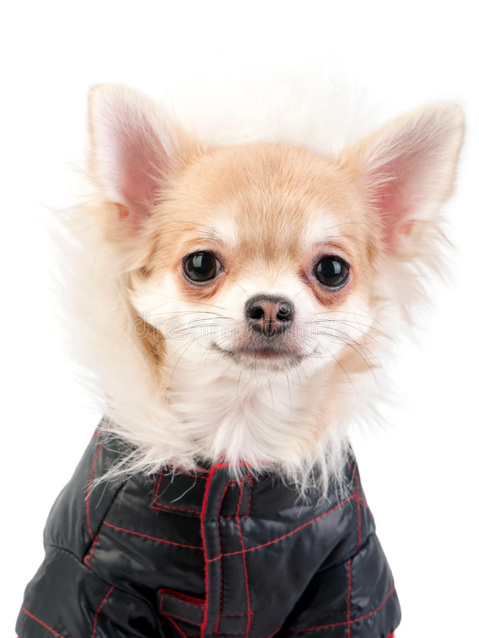 Chihuahua dog dressed in black jacket portrait stock photography