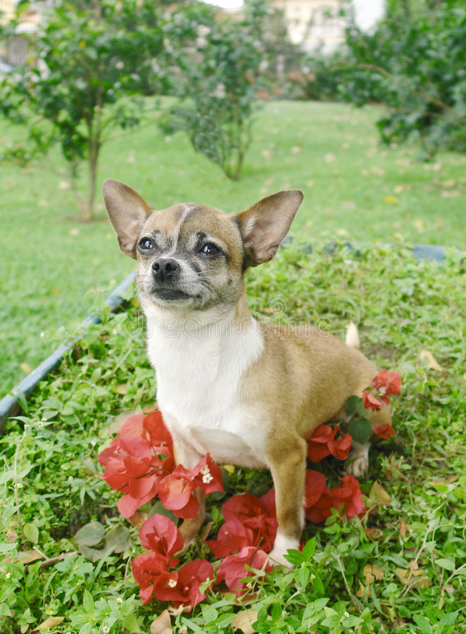 Chihuahua dog in flowers 2
