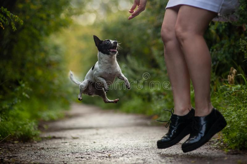 Chihuahua dog funny jumping with the chihuahua dog funny jumping with a man. training. friendship stock images