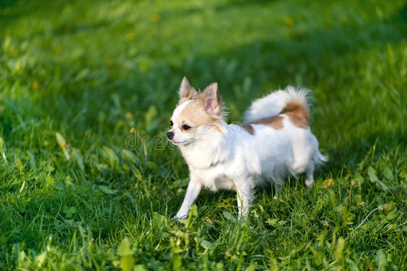 Download Chihuahua Dog  Going Towards The Sunset Stock Photo - Image: 22137660