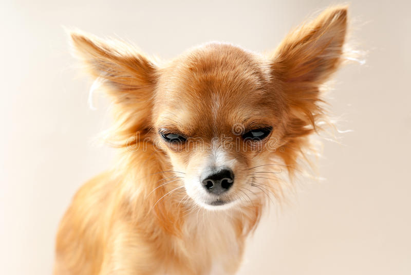 Chihuahua dog head with disgruntled expression. Close-up on neutral background royalty free stock photos