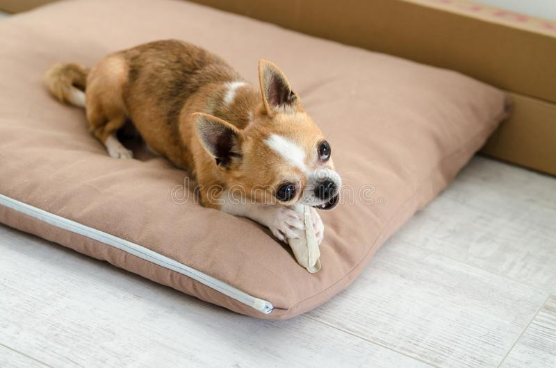 Chihuahua dog lying on brown bed pillow royalty free stock photography