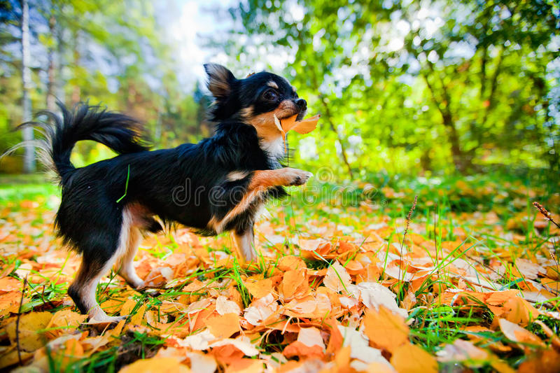Chihuahua dog in a park. Long-hair Chihuahua dog in sunny autumn park royalty free stock images
