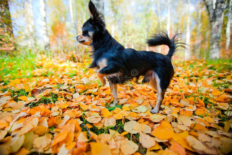 Download Chihuahua dog in a park stock image. Image of autumn - 18376983