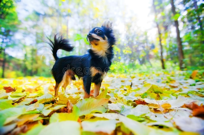 Chihuahua Dog In A Park Royalty Free Stock Photos