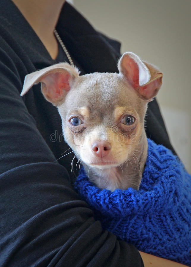 Chihuahua dog. Photo of freddy the cute chihuahua dog proudly wearing his blue coat feeling safe and protected in owner`s arms. photo taken 10th march 2017 stock image