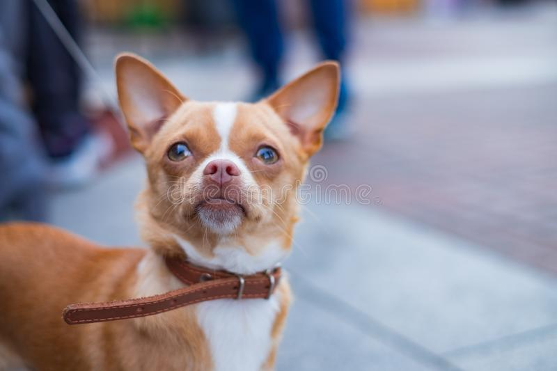 Chihuahua dog portrait selective focus on nose. royalty free stock image