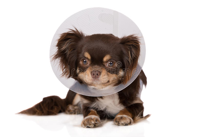 Chihuahua dog posing in a cone. Chihuahua dog in a cone on white stock photo