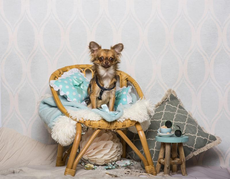 Chihuahua dog sitting on chair in studio, portrait stock photography