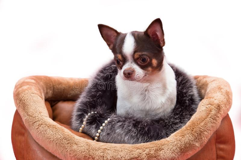 Chihuahua dog sitting in furs royalty free stock photos